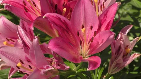Garden Lily violet ビデオ