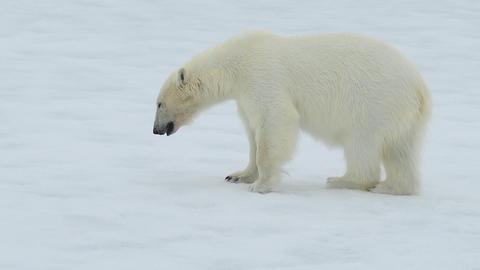 Polar bear walking in an arctic Footage