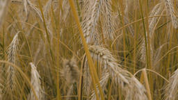 Golden Wheat Blades Close Up Live Action