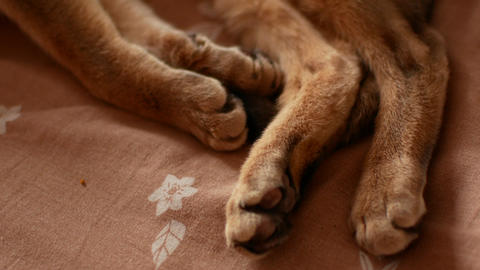Domestic cat being scratched with love. Cute abyssinian cat Live Action