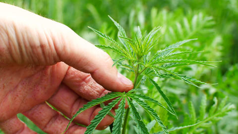 Close up of green leaf of Cannabis plant. Nature and medicine background Footage