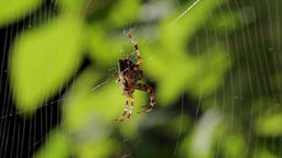 Rack focus on a large spider on a cobweb. Creative view of a spiderweb with an Archivo