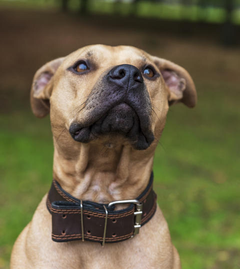 portrait brown American pit bull terrier Photo
