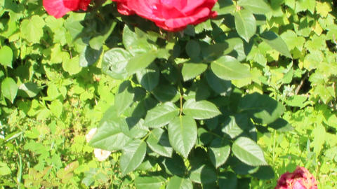 Bush of red roses growing in garden. Red roses blossom in summer garden Live Action