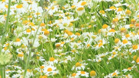 White chamomiles blossom in summer field ビデオ