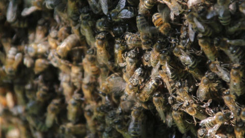 Bees convert nectar into honey. closeup of bees on honeycomb in apiary 영상물