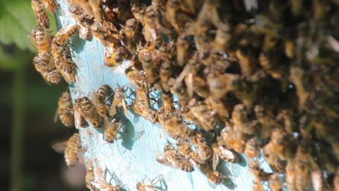 Bees convert nectar into honey. closeup of bees on honeycomb in apiary ビデオ