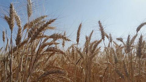 Big Field golden ears of wheat ビデオ