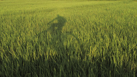 Shadow of bicycle and rider moves over grass of green ricefield 영상물