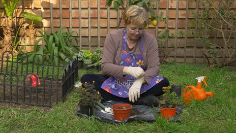 Adult woman potting flower plants in her garden Footage
