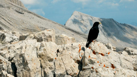 Curious Alpine chough looking for food in the high mountains, South Tyrol Live Action