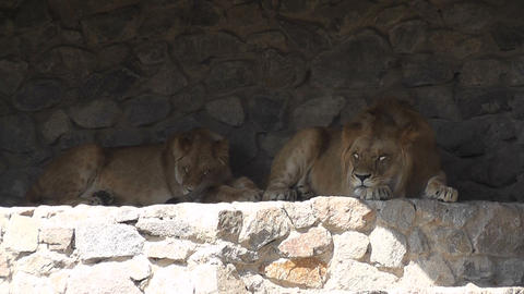 lion at the zoo 01 Stock Video Footage