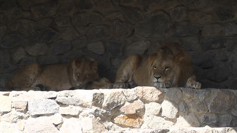 lion at the zoo 01 Footage