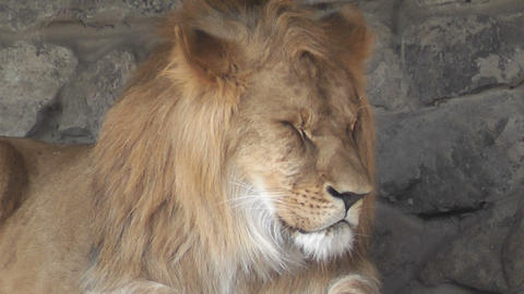 lion at the zoo 05 Stock Video Footage