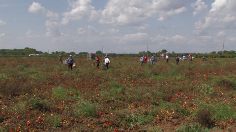 Workers collecting tomatoes from the field Stock Video Footage