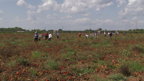 Workers collecting tomatoes from the field Footage