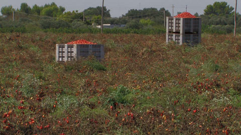 Boxes of freshly picked tomatoes Stock Video Footage