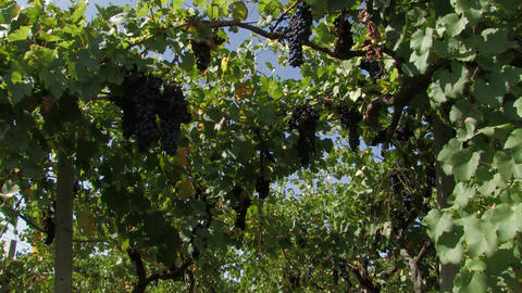 Hanging grapes on the vine Stock Video Footage