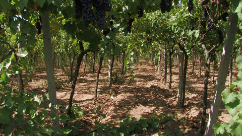 Rows of grape vines Stock Video Footage