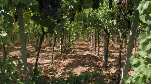 Rows of grape vines Footage
