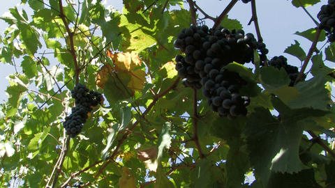Ripe hanging grapes on the vine Footage