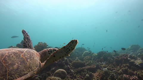 Underwater videographer shoots the Hawksbill turtle Footage