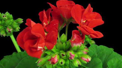 Time-lapse of opening red geranium (Pelargonia) flower in RGB + ALPHA matte form Footage
