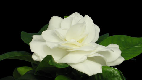 Time-lapse of opening gardenia flower with ALPHA channel Footage