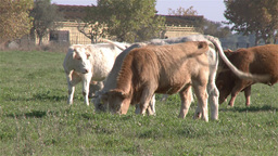herd of cows in a green pasture field Footage