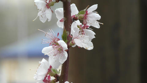 Spring flowers apricot Footage