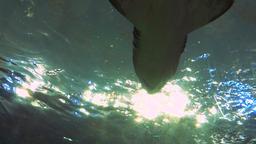 Underbelly of a Shark 3 Footage