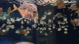 School of Lookdown Fish Footage