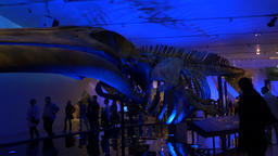 Giant Dinosaur Skeleton on Display Footage