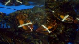 Banded Lobsters in a Tank Live Action