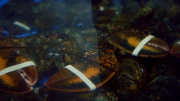 Banded Lobsters in a Tank 2 Footage