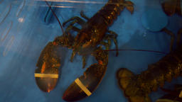 Banded Lobster in a Restaurant Aquarium Overhead Footage