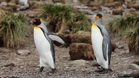 King Penguins On South Georgia Island Footage