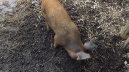 Brown Pig Digging in the Dirt with its Snout Live Action