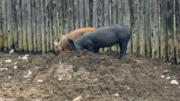 Pigs Digging in Dirt with their Snouts Live Action