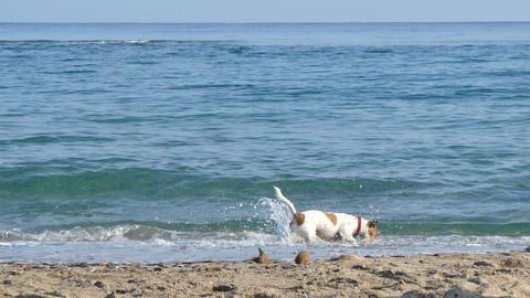 Jack russell terrier plays on the beach Live Action