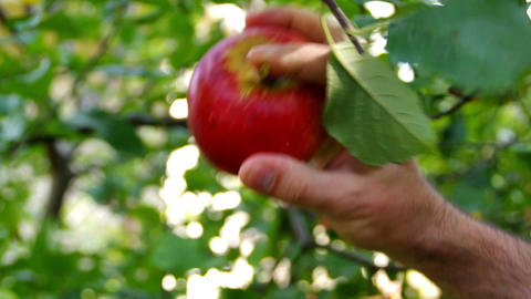 Picking apple from tree HD Footage
