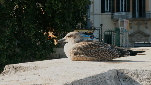 seagull cub on bridge of Castel Sant Angelo, Rome Footage