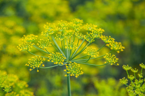 Seeds of fennel plants on the bed Photo