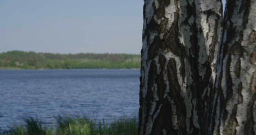 4k - beautiful birch in a dense green grass near a lake Footage