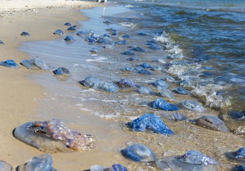 lot of dead and living jellyfish on the Black Sea shore Fotografía