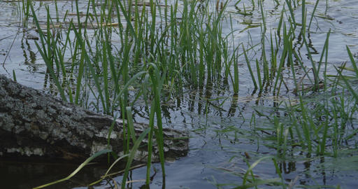4K - Reeds gradually swing in the pond Live Action