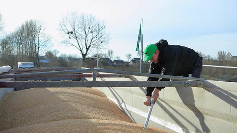Freshly Harvested Corn Grains Footage