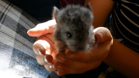 teenage girl holds a chinchilla puppy in her hand Footage