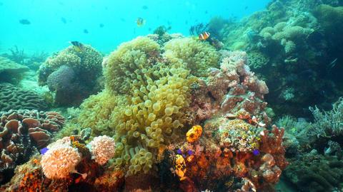 Clownfish Anemonefish in actinia Photo