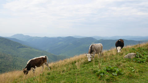 Domestic cows graze in the Carpathian Mountains.Ukraine Footage